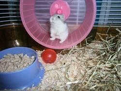 Nocturne, rongeur Hamster