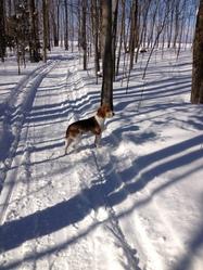 Nodzo, chien Beagle