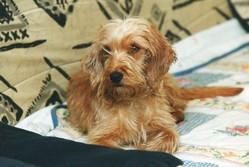 Noël, chien Basset fauve de Bretagne