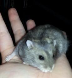 Noel, rongeur Hamster