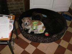 Noel, chien Bichon maltais