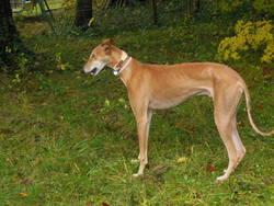 Noel, chien Lévrier espagnol