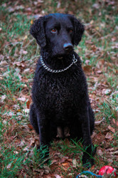 Noël, chien Curly-Coated Retriever