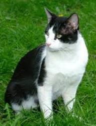 Noiraud, chat Bengal