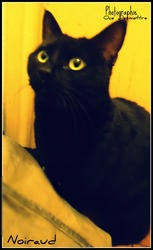 Noiraud, chat Européen