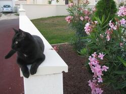 Noiraud, chat