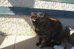 Noiraude, chat Européen