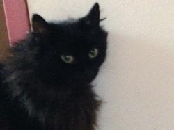Noiraute, chat
