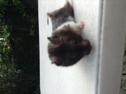 Noiraux, rongeur Hamster