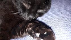 Noiro, chat Gouttière