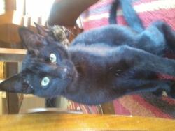Noirot, chat Européen