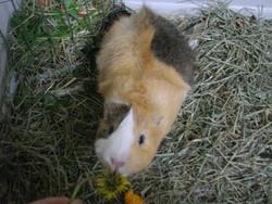 Noiset, rongeur Cochon d'Inde