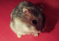 Noisette , rongeur Hamster