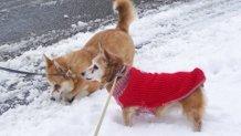 Noisette, chien Welsh Corgi