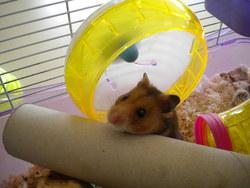 Noisette Rip, rongeur Hamster
