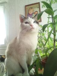 Noisette, chat Siamois