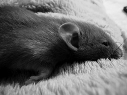 Noisette, rongeur Rat