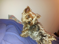 Noisette, chien Yorkshire Terrier