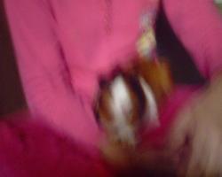Noisette, rongeur Cochon d'Inde