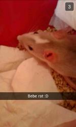 Noisette , rongeur Rat