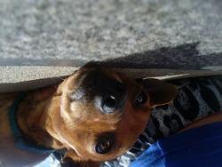 Noisette, chien Pinscher