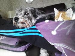 Noisette, chien Coton de Tuléar