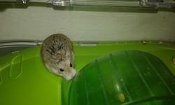 Noisette, rongeur Hamster