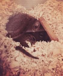 Noisette, rongeur Octodon