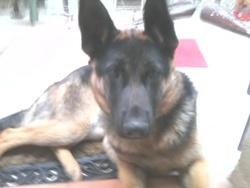 Galik, chien Berger allemand