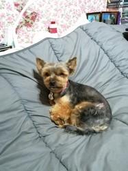 Noisette, chien Yorkshire Terrier