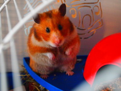 Noisette La Bucheron, rongeur Hamster