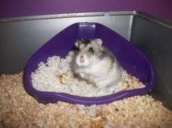 Noisettine, rongeur Hamster