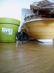 Noisia, rongeur Rat