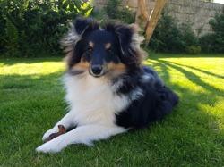 Nolane, chien Berger des Shetland