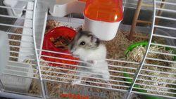 Nono, rongeur Hamster