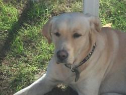 Nooga, chien Labrador Retriever