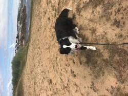 Nook, chien Berger australien