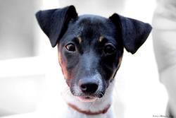 Nookie, chien Jack Russell Terrier