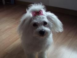 Nora, chien Bichon à poil frisé