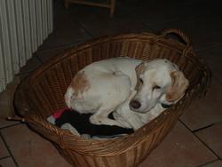 Nora, chien Pointer anglais