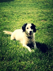 Nora, chien Setter anglais