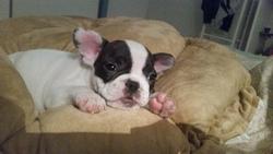 Nora, chien Bouledogue français
