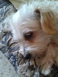 Nora4, chien Bichon havanais