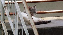 Norbert, chat Européen