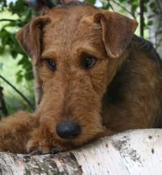 Norbert, chien Airedale Terrier