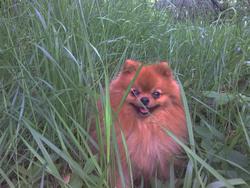 Nordik, chien Spitz allemand
