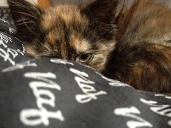 Noria, chat Européen