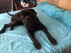 Noris, chien Cane Corso