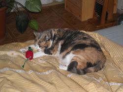 Norsica, chat Gouttière