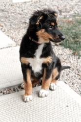 Norton, chien Berger australien